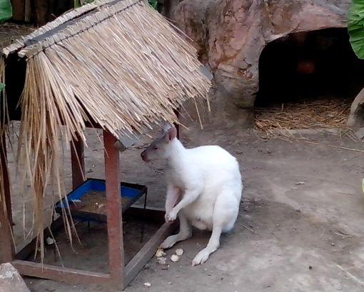 kangguru putih