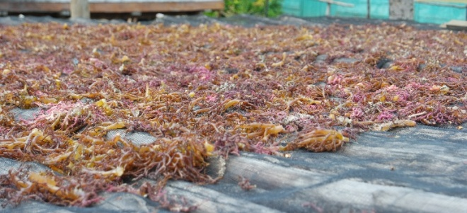 mari menjemur rumput laut